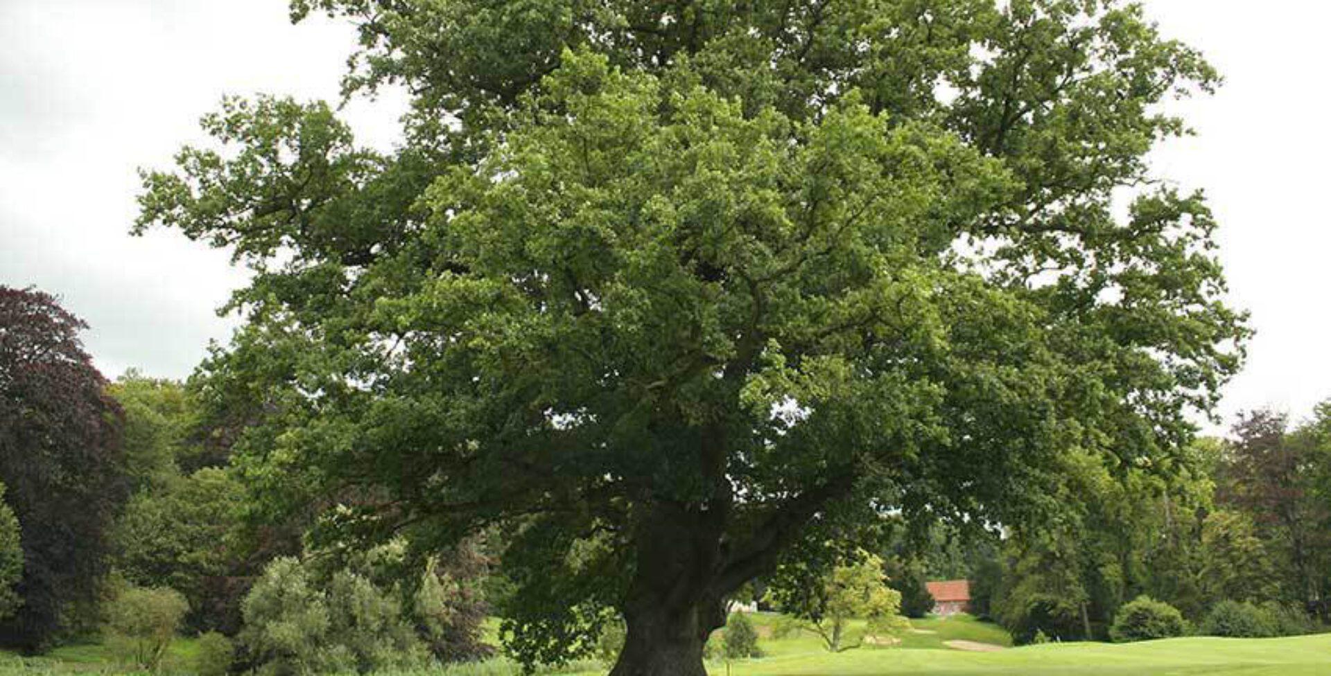 Kruid van de maand - Zomereik (Quercus robur)