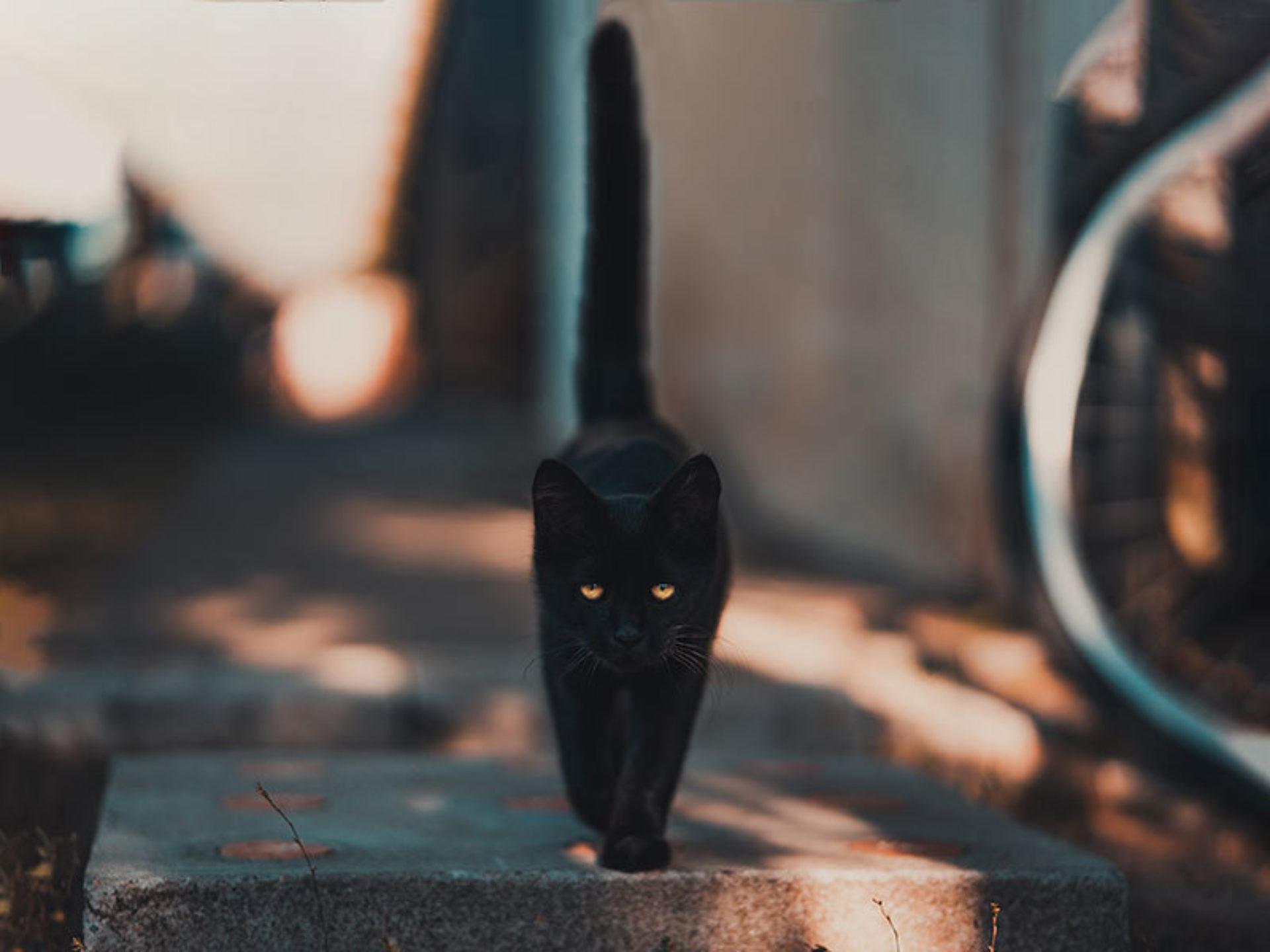 Zwarte katten en bijgeloof: het symbool voor ongeluk.
